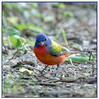 Painted Bunting (Ed Sivon) Tags: america canon nature wildlife wild western southwest texas bird