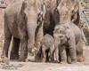 Newborn baby.. Asian Elephant (ChromaphotoUK) Tags: elephant young baby chester zoo cheshire uk calf boy