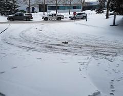 Tired of Snow (Bracus Triticum) Tags: tired snow calgary カルガリー アルバータ州 alberta canada カナダ 3月 弥生 さんがつ yayoi newlifemonth 2018 平成30年 spring march 三月 sangatsu