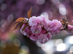 Cherry Blossom (PN Verheij) Tags: allfreepicturesjune2018challenge spring demeern netherlands petal flower pink bokeh tree cherry outdoors macro blossom nature