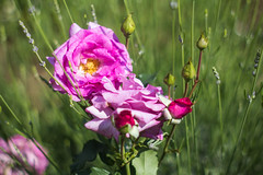 IMG_8437 (milkaklickovic) Tags: canon canon60d takumar 55mm f2 flowers garden sunny day plants flower