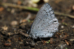 Marine Blue Butterfly (Side) (siamesepuppy) Tags: insect macro bug arthropod arthropoda invertebrate canon7dmkii 100mm entomology california thewildlandsconservancy oakglenca marineblue butterfly butterflies