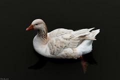 Spectral goose (Fred Roe) Tags: nikond810 nikkorafs80400mmf4556ged nikonafsteleconvertertc14eii nature wildlife waterfowl birds birding birdwatching birdwatcher goose peacevalleypark