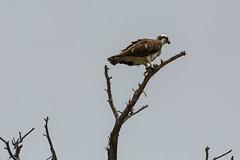 Sushi perch (ChicagoBob46) Tags: osprey bird yellowstone yellowstonenationalpark nature wildlife coth5 ngc npc