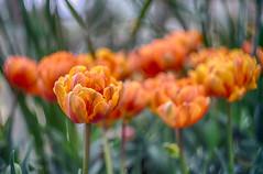 double tulip blooms (kderricotte) Tags: tulip flower sony sonya7ii garden meadowlarkbotanicalgardens helios helios44m458mmf2 bokeh depthoffield