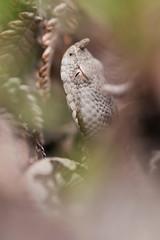 Vipera ammodytes (Gabriele Carabus Motta) Tags: viepera dal corno nose horned viper snake reptile italy nature wildlife spring