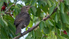 Et gai rossignol , et merle moqueur ,  étourneaux (JB89100) Tags: 2018 etourneaux oiseaux stmartindt ou quoi