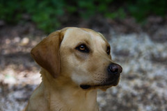Ava (vio.nurfiktion) Tags: labrador reinrassig dog dogs hund hunde arbeitshund haustier outdoor drausen