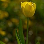 Yellow Tulip thumbnail