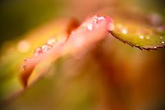 DSC_3807 (Stacey Conrad) Tags: d7500 macro nikon pa summerfield willowstreet water waterdrop rain leaf