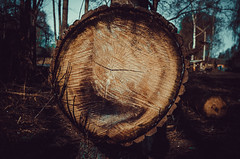 The trunk of a fallen tree. Fallen poplar sawn in half (ivan_volchek) Tags: tree wood log stump cut trunk texture ring wooden isolated timber section brown nature circle old white slice bark pattern natural cross food round material