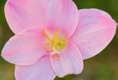 macro close-up (Nikondxfx (instagram)) Tags: 2015 d5200 india may travel hillstation hobby hobbyphotography nikon travelling travelphotography treveller uttarakhand macrophotography macro macrolens macrophotograhy flowerphotography