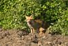 La volpe (Milo Manica) Tags: volpe vulpesvulpes rossa campo piccolo mammal mammifero angera italia italy canon eos 60d tamron 70300 manfrotto treppiede