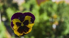 tan sencilla como humilde. (<María>) Tags: flor pensamiento color nikon spain españa
