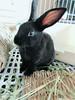 くろくん (ココロのおうち) Tags: rabbit bunny pet 動物 うさぎ ペット うさぎ専門店 ココロのおうち うさぎラブ