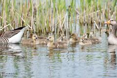 How YOU doin'? (ThomasMaribo) Tags: goose gosling bird cute small waterfowl water lake maribo danmark denmark lolland anser anserini anatidae