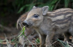 Eating your greens ! (Taracy) Tags: wild boar humbug forest dean england