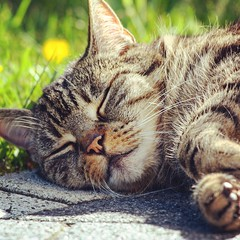 Müde (Antje_Neufing) Tags: katze gesicht schlaf müde sonne nickerchen schön ruhe friedlich