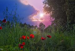 - CONTRALUZ - (Tomas Mauri) Tags: contraluz backlighting atardecer sunset amapolas calders