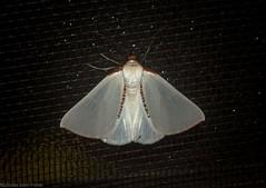 Satin Moth (dustaway) Tags: arthropoda insecta lepidoptera geometridae ennominae thalainaselenaea satinmoth australianmoths australianinsects tamborinemountain sequeensland mounttamborine queensland australia
