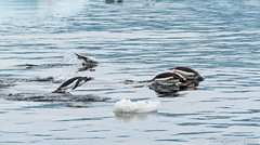 ANT180316-7038 (robertopastor) Tags: antarctica antarctique antarktika antartic antártida fuji robertopastor xt2 xf14xtc xf100400 aq