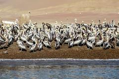 Pelican colony, Paracas (long time no signs of you ... I'll wait till you s) Tags: pelican pelícanos paracas peru nature bird birdwatching birds birding marine marinebirds pelecanusthagus peruvianbrownpelican bahíadeparacas ペルー 페루 秘鲁
