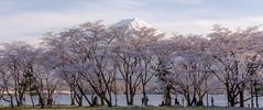 富士山 Mt.Fuji (Masayuki Nozaki) Tags: fuji fujiyama fujisan landscape japan lake sakura tree spring canon eos 6d sigma 富士山 河口湖