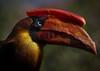 Hornbill (ToriAndrewsPhotography) Tags: hornbill phtoography andrews tori colourful bright bird