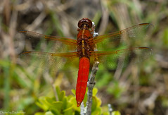 Dragonfly / Стрекоза (Vladimir Zhdanov) Tags: travel mexico chiapas macro insects dragonfly nature
