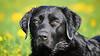 Flower child (uwe.kast) Tags: labrador labradorretriever labradorredriver bichou hund haustier dog bokeh black blumen flower canon canon750d ef70200mm