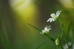 Light in the Forest (Stefan Zwi.) Tags: wildblume wild flower licht light bokeh forest wald macro stellariaholostea ngc npc