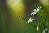 Light in the Forest (Stefan Zwi.) Tags: wildblume wild flower licht light bokeh forest wald macro stellariaholostea ngc npc