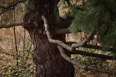reaching (annapolis_rose) Tags: tree branches evergreen treebark outdoors