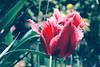 Tulip (mártaczuczi) Tags: hungary tavasz spring tulip flower blue pink cyclamen magyarország tulipán virág czuczimárta kék rózsaszín ciklámen finepix fujifilm s3200