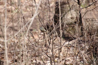 Golden-Crowned Kinglet at Maybury State Park (Northville, Michigan) - April 2018