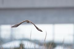 Circus cyaneus (kenta_sawada6469) Tags: bird birds nature winter japan aves wildlife henharrier accipitridae