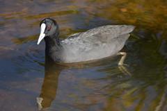 Eurasian Coot (Fulica atra) (Urban and Nature OZ) Tags: eurasiancoot coot bird birds birding watrbird waterfowl