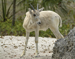 Addax calf (Addax nasomaculatus) (ucumari photography) Tags: ucumariphotography zoomiami miami florida fl animal mammal march 2018 addax addaxnasomaculatus dsc3650 specanimal