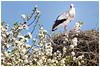 Storchenpaar auf dem blühenden Apfelbaum (Sonnenblume♥) Tags: storch storchin storchenhorst apfelbaum blüten