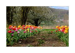 Tulpenfeld (Fujigraf) Tags: tulpen flower power farben garten acker baum feld fuji