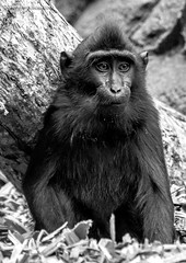 Lone (JKmedia) Tags: monkey macaque primate zoo chester boultonphotography 2018 blackwhite bw saluwesi sulawesicrestedmacaque ape