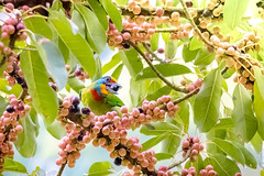Pearls (Jimweaver) Tags: leaf river stream mountain green lake path taiwan taipei winter 台灣 台北 新北 翠湖 溪 河 步道 葉 樹 asia 亞洲 微距 jinlong 金龍湖 光 bird 鳥 bead psilopogon nuchalis 台灣擬啄木 大葉榕、赤榕、筆管樹 雀榕 紅 綠 藍 黃 黑 red blue yellow black largeleavedbanyan mullersbarbet