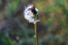 if you can blow all the seeds off a perfect dandelion fluffball, you can wish for something. (C.DeR) Tags: dandelion papadie fluff closeup plants flowers taraxacum seeds cder