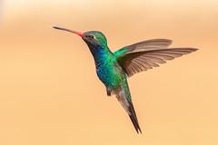 CC7A7485.jpg (gilamonster8) Tags: bokeh feather fly broadbilledhummingbird explored eos golden bird naturetop tucson arizona canon ngc animal