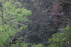 Sorbus torminalis (basswulf) Tags: sorbus sorbustorminalis spring green tree d40 vivitar90mmf25macro lenstagged unmodified 32 image:ratio=32 permissions:licence=c 20180503 201805 3008x2000 rhs rosemoor rhsrosemoor devon england uk plantdb:family=pending