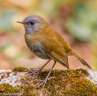 Black-billed Nightingale-Thrush (Catharus gracilirostris) male, Costa Rica (Explored)