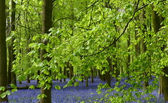 Beech Leaves & Bluebells (Helen:) Tags: ashridgeestate dockywood bluebells