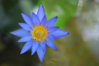 Water lily,