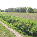 Field in spring with rows of fresh green sprouts thumbnail