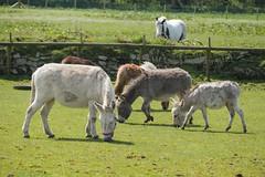 P1250214_edit (The Oldhams) Tags: cornwall donkeys flickadonkeysanctuary